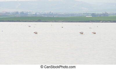 Pink Flamingo on salt Lake in Cyprus - Pink Flamingo on Lake...