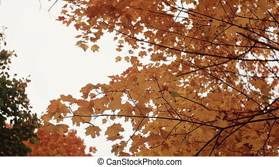 golden yellow orange maple leaves in autumn park view from...