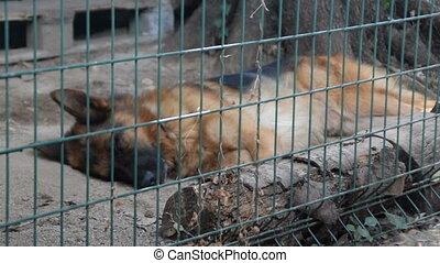 The German Shepherd sleeping in cage