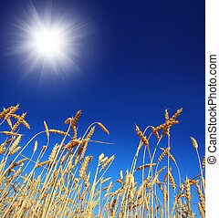 stems of the wheat under sky