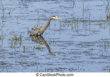 Mirror like reflection of heron. - A great blue heron wades...