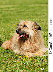 Lhasa Apso dog - Portrait of similar Lhasa Apso dog in a...
