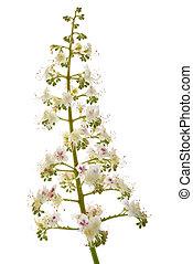 horse chestnut (Aesculus hippocastanum) - horse chestnut...