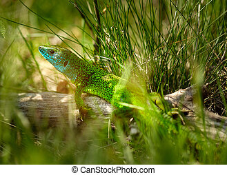 Iberian emerald lizard (Lacerta Schreiberi) on a tree stump...