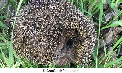 Hedgehog asleep in the grass