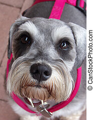 Pretty in Pink - Curious big brown eyed terrier in a hot...