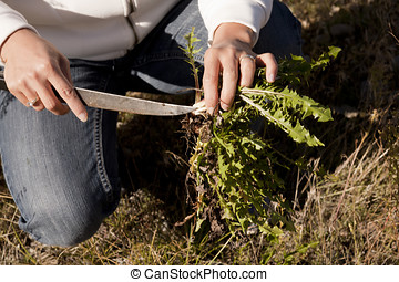 Trimming the dandelion root - A person digs for wild...