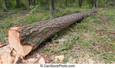 A large fallen cutted tree lies in the summer forest....