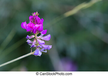 Close-up of blooming sainfoin - Close-up of beautiful pink...