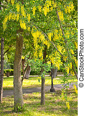 Cassia fistula flower - Yellow Golden shower Cassia fistula...