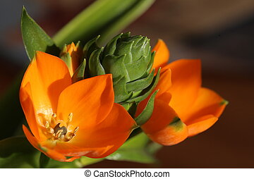 Orange blossoms of Ornithogalum dubium, the star of...