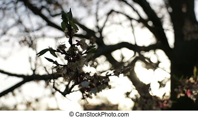 Sun branch tree flowers - Beautiful spring trees in blossoms...