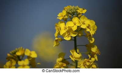 Waving Rapeseed Blossoms - Closeup macro shot of waving...
