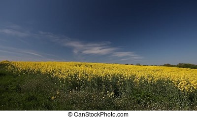 Large Rapeseed Field Foreground Focus - Rapeseed field....