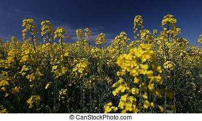Rapeseed Blossoms Focus on Backgrounds - Blurry closeup shot...