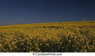 Rapeseed Field with a Small Cloud - Large rapeseed field...
