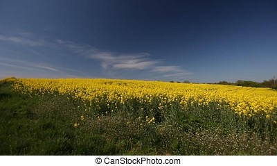 Rapeseed Field Focus on Horizon - Rapeseed field. Clear sky,...