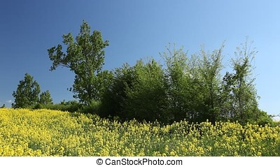 Shrub in the Middle of Rapeseed Field