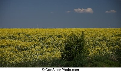 Rapeseed Field with Shrub - Rapeseed field with shrub. Power...