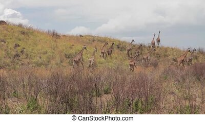 A flock of giraffes are walking on the shroud in Tanzania,...