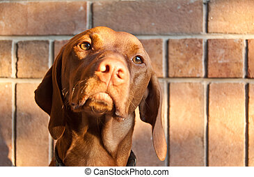Hungarian Vizsla Dog with Brick Wall - A Hungarian Vizsla...