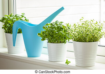 fresh basil thyme herb in a pot on window watering can