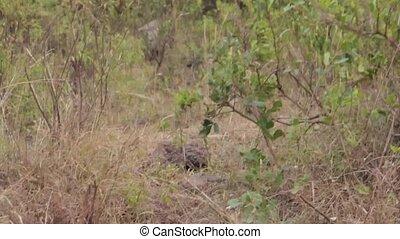 Baboon in safari, Tanzania Africa