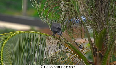 A crow on a coconut palm