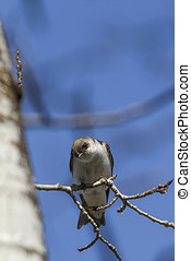 Tree swallow looks downward. - A small and cute tree swallow...