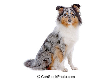 Shetland Sheepdog or sheltie isolated on a white background