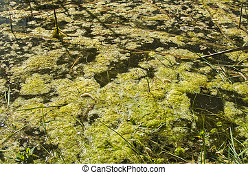 Swamp water surface closeup - Swamp water surface with green...