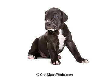 Great Dane puppy isolated on a white background