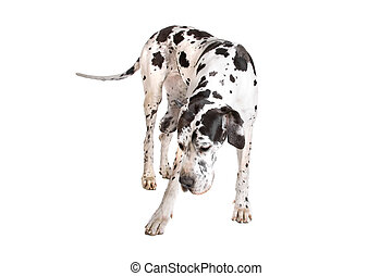 Great Dane isolated on a white background