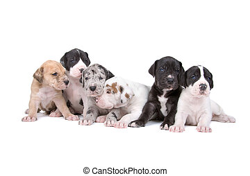 Great Dane puppy - Great Dane puppy isolated on a white...