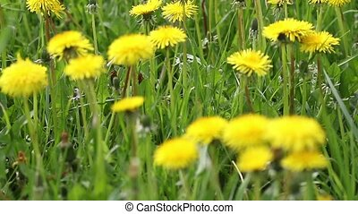 Moving camera footage of dandelion meadow in the sunny day.
