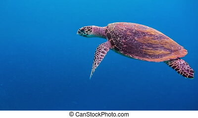 Hawksbill sea turtle swimming over deep blue and coral reef...