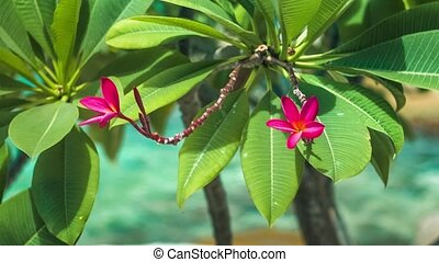 Vivid red petals and stems of blossom plumeria swinging on...