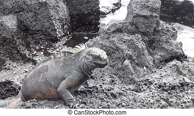 Galapagos iguana on rocks and cliffs of coast on Santa Cruz Island.
