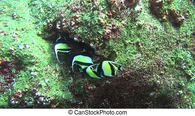 Beautiful fish on background underwater green landscape in sea of Galapagos.