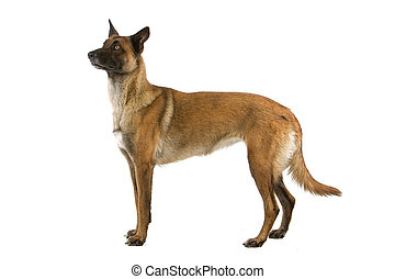 Belgian Shepherd Dog isolated on white