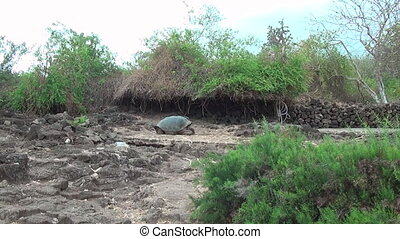 Giant Galapagos tortoise on the rocks and green grass on...