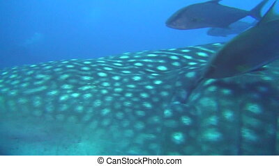 Large whale shark on background underwater landscape of Galapagos Islands.