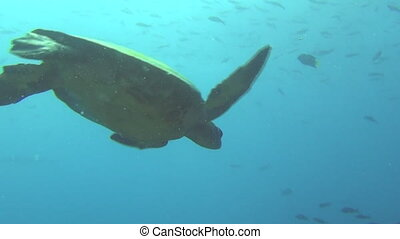 Green sea turtle underwater on background corals of Galapagos Islands.