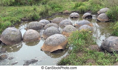 Group of giant Galapagos turtles in muddy water and grass on...