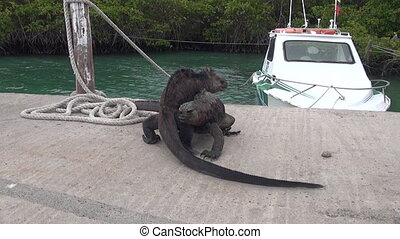 Two Galapagos iguanas on background of sea and boat on Santa...