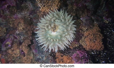 Actinia anemone on background amazing seabed underwater in...