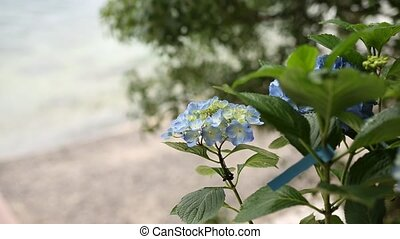 Blooming hydrangea on the streets of Montenegro.