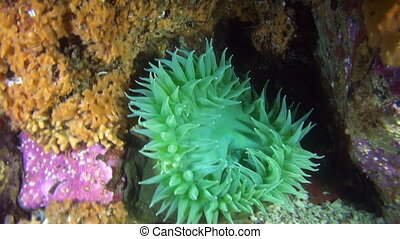 Green anemone on background seabed underwater in ocean of...