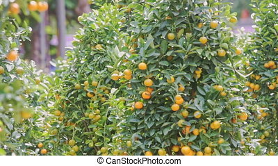 Wind Shakes Green Tangerine Tree Branches With Ripe Fruits -...