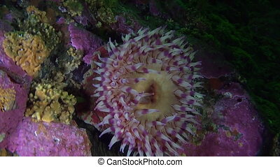 Lilac actinia anemone on background corals underwater in...
